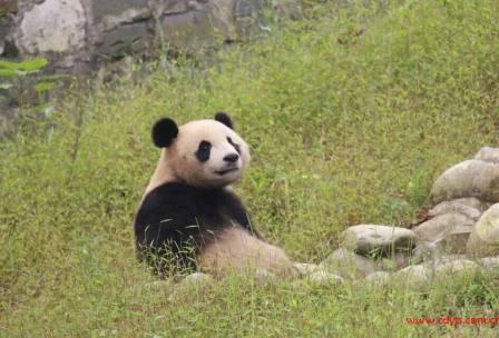成都到都江堰、成都大熊猫基地汽车一日游、熊猫基地旅游多少钱、熊猫基地旅游线路报价