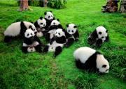 成都大熊猫基地门票预订/成都熊猫基地门票价格(可购熊猫基地+蜀风雅韵川剧联票)