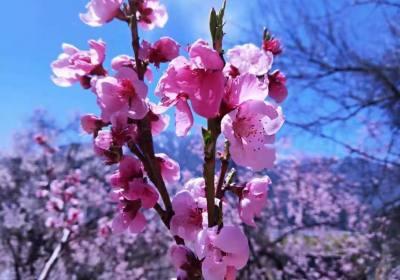 西藏桃花节什么时候、西藏桃花节是几月几日、西藏桃花节在哪里