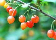 成都樱桃基地在哪里、成都樱桃采摘季节是几月份、成都樱桃采摘园哪个比较好